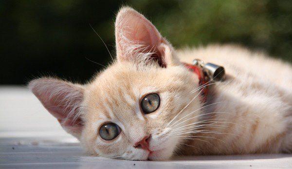 Un gato con sarna está triste y no come