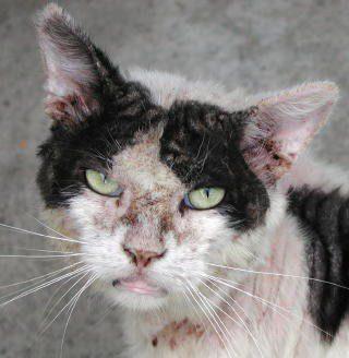 Un gato con sarna