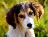 Perros mestizos: todo lo que debes saber