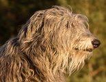 Razas de perro: Deerhound o galgo escocés