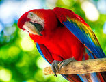 Guacamayo: colorido y parlanchín