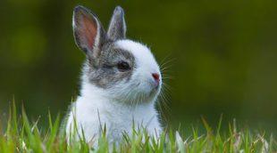 Cómo entrenar a un conejo enano