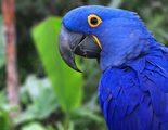 Todo sobre el Guacamayo Jacinto, un ave fascinante