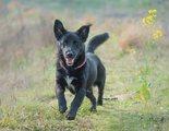 Razas de perros: Schipperke