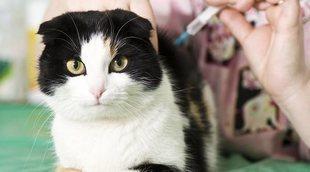Cómo saber si un gato tiene la rabia: soluciones