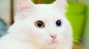 Cuidados del pelo del gato de Angora
