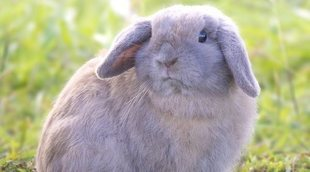 Holland Lop: Conoce todo sobre esta raza de conejo