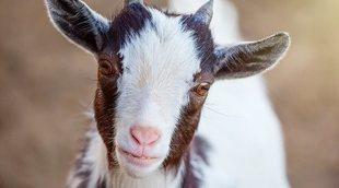 La cabra enana: un animal adorable que se puede tener como mascota