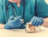 Enfermedades más comunes de las cobayas