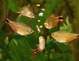 Comida casera para peces de acuario